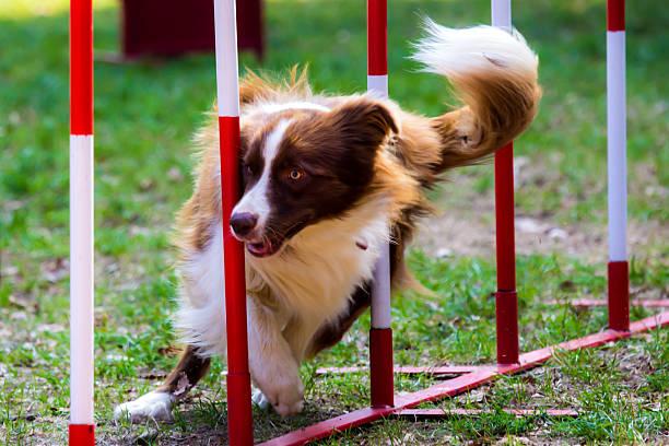 Agilité chien rouge border collie avec un - Photo