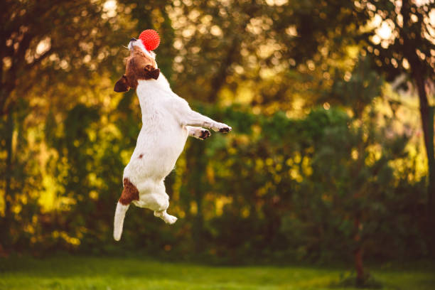 Agility training with dog jumping to catch toy ball picture id1165213475?b=1&k=6&m=1165213475&s=612x612&w=0&h=qtossj92oysfpkqywgxjssnubys5tvhha01b mld4qa=