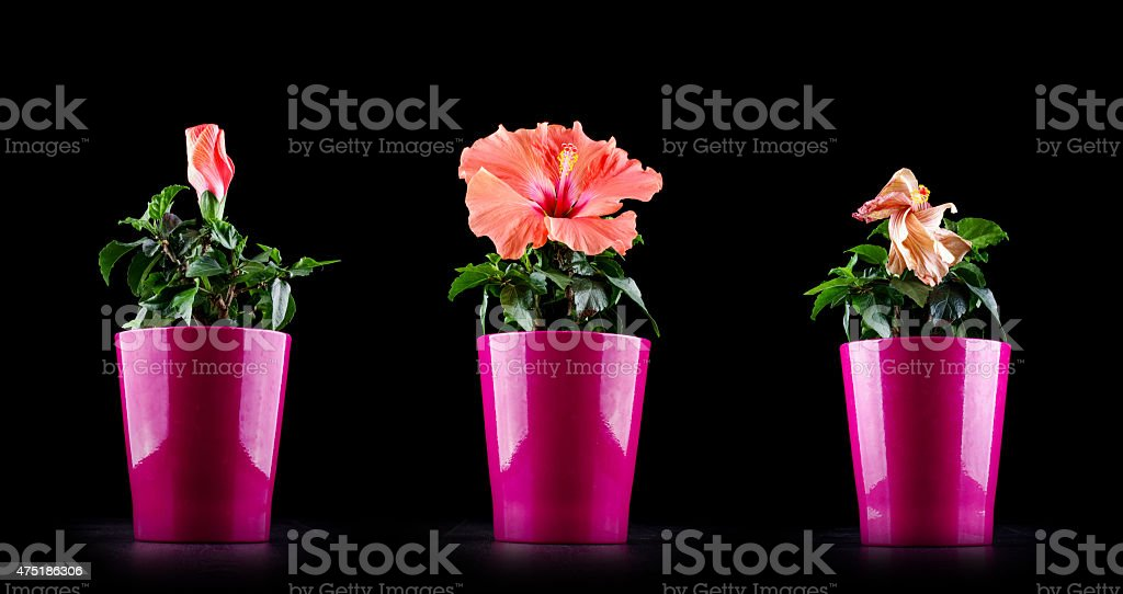 Aging concept from Hibiscus flower life cycle stock photo