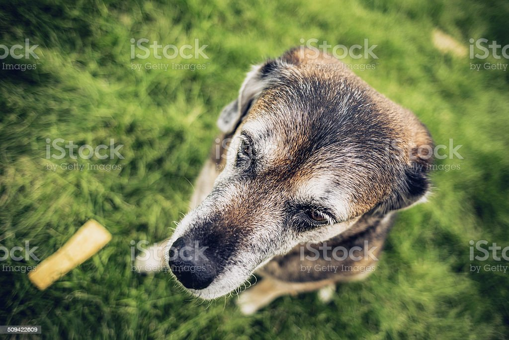 Aging Dog With Rawhide Chew Looking Sheepish royalty-free stock photo