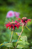 Images of outdated, faded flowers on dark green gloomy foliage