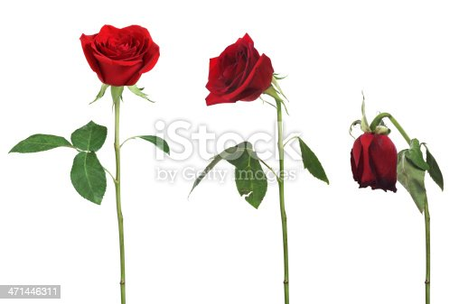 Aging rose