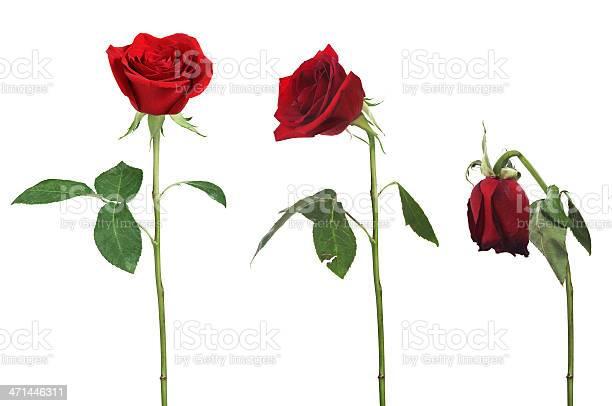 Aging rose picture id471446311?b=1&k=6&m=471446311&s=612x612&h=k5sf5vfclyl0mdvkghffjlz6twto yq6f8 ivdiqciy=