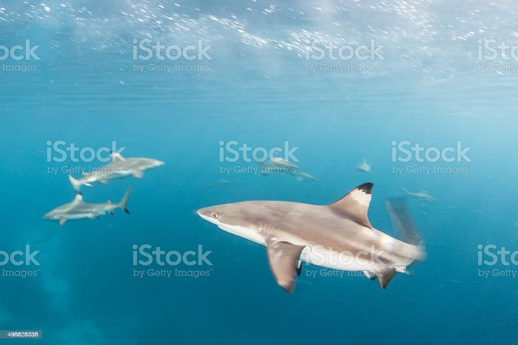 Agitated Blacktip Reef Sharks stock photo