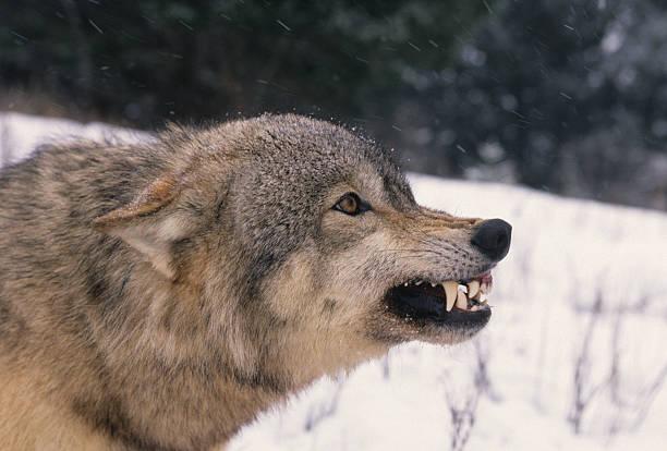aufgeregte wolf - knurren stock-fotos und bilder