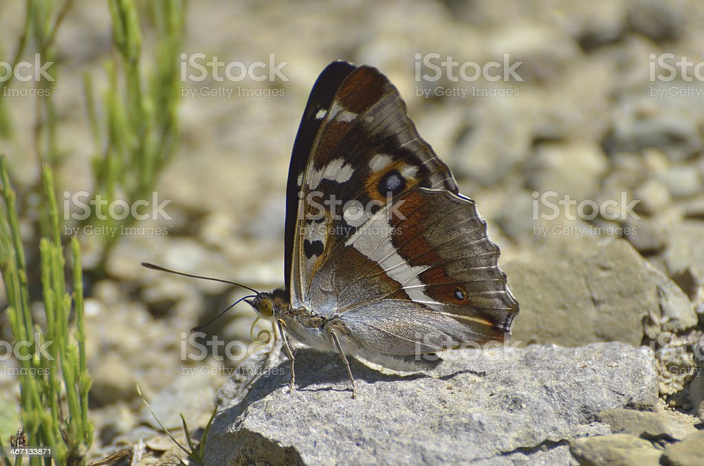 Aglais iris (Purple Emperor) butterfly stock photo