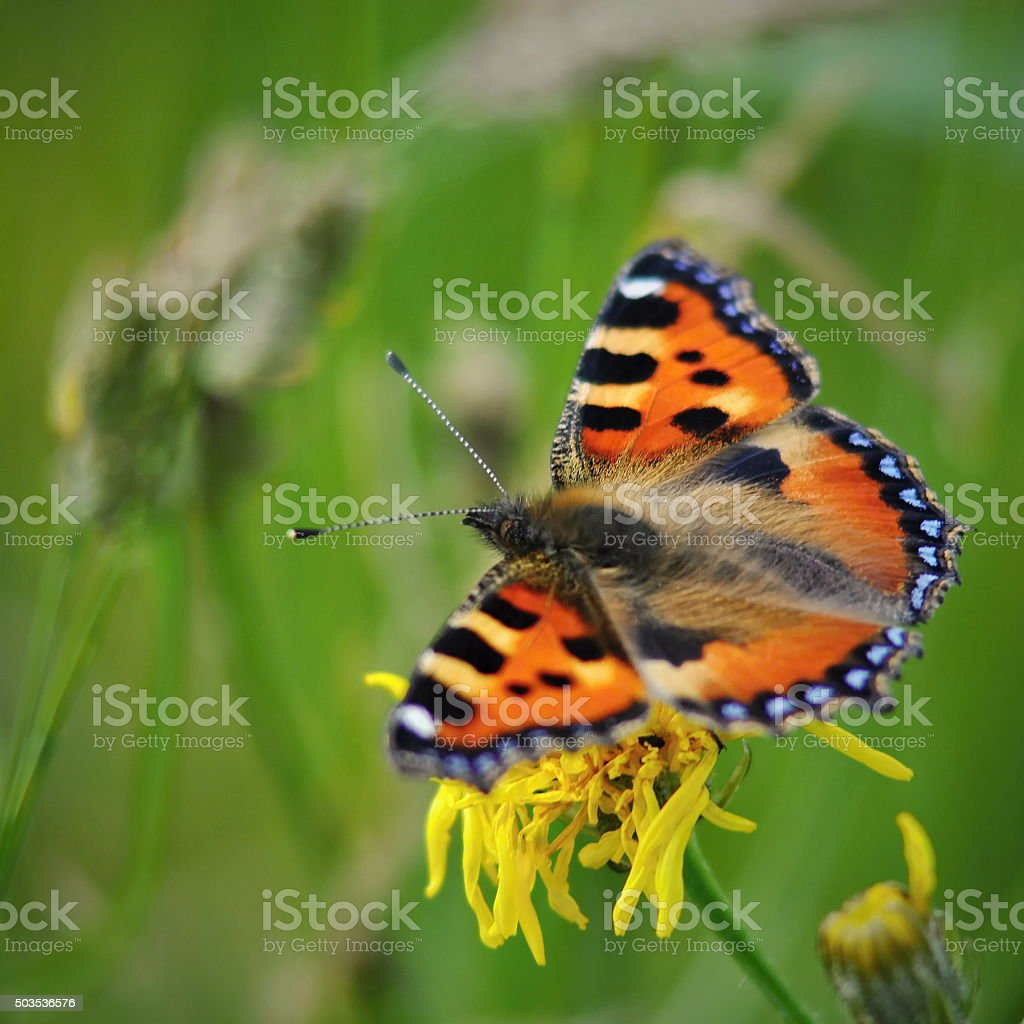 Aglais urticae butterfly closeup stock photo