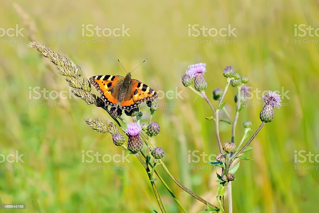 Aglais urticae butterfly stock photo