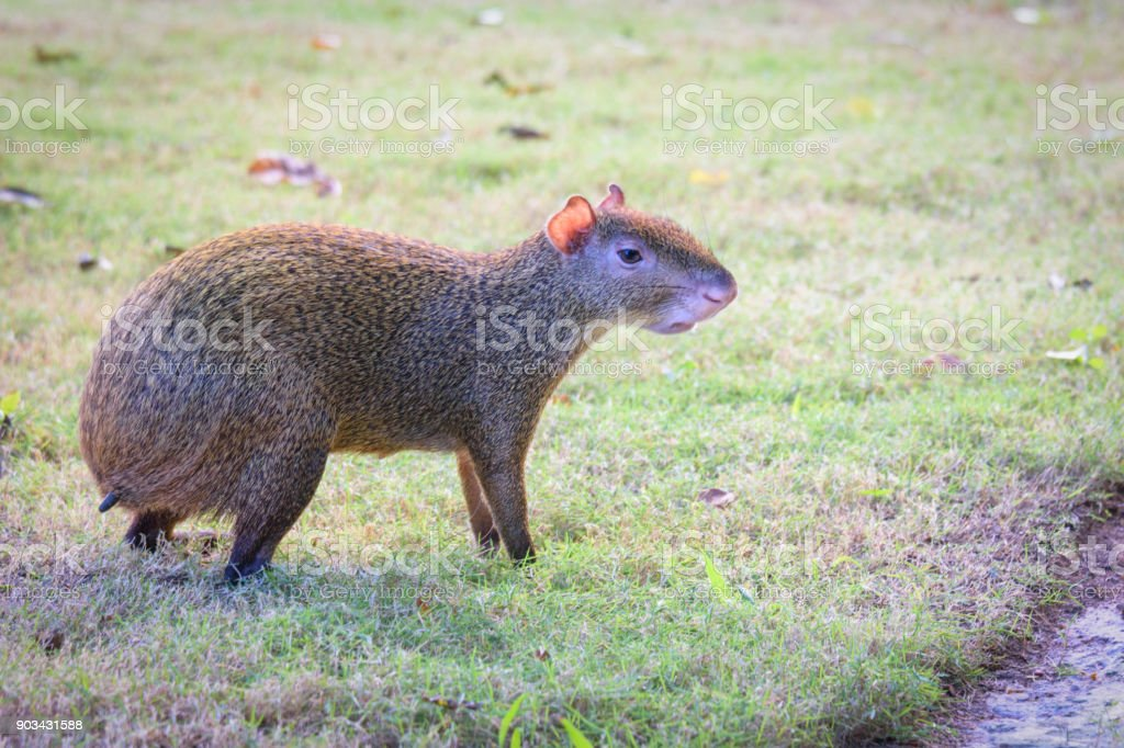 Agouti agoutis or Sereque rodent on green grass. Rodents of the Caribbean. stock photo