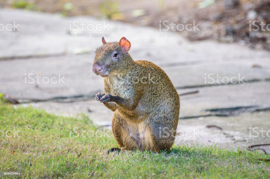 Agouti agoutis or Sereque rodent sitting on the grass holding some food in paws. Rodents of the Caribbean. stock photo