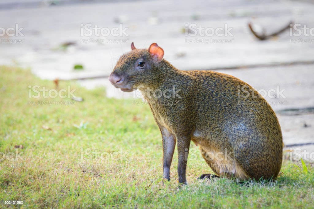 Agouti agoutis or Sereque rodent sitting on the grass. Rodents of the Caribbean. Copy space stock photo