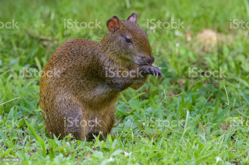 Agouti cleaning itself stock photo