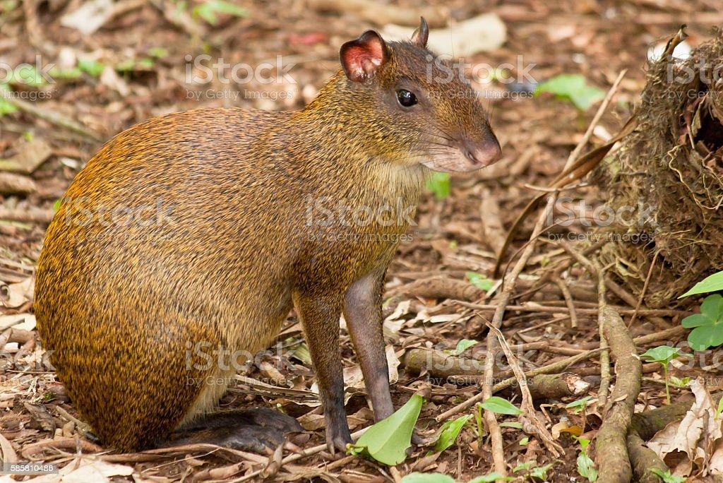 Agouti rodent stock photo