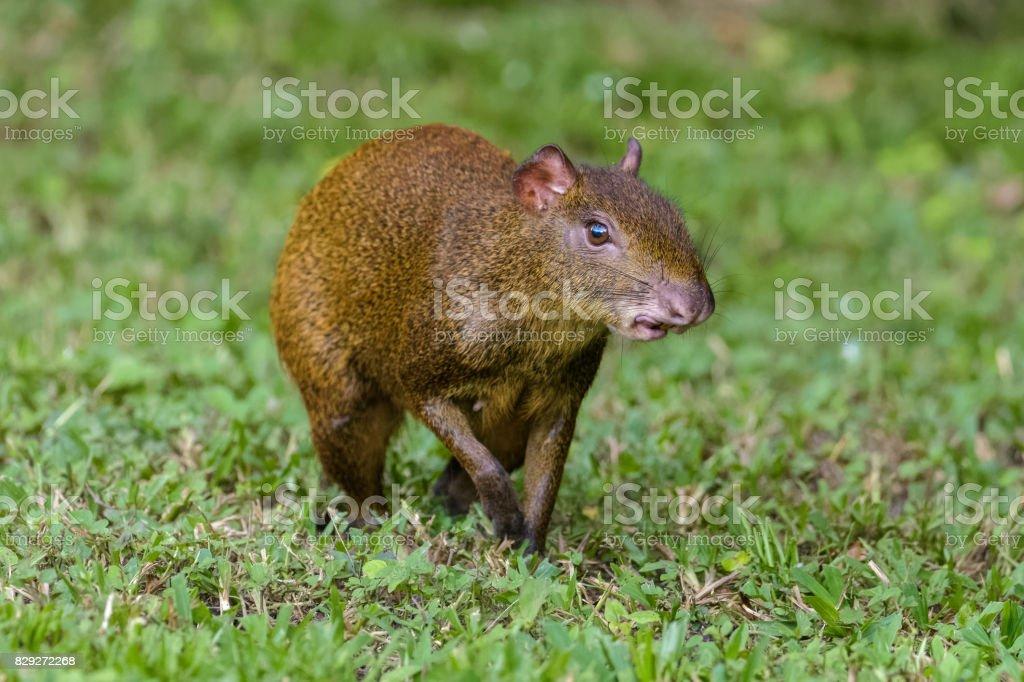 Agouti walking on grass stock photo
