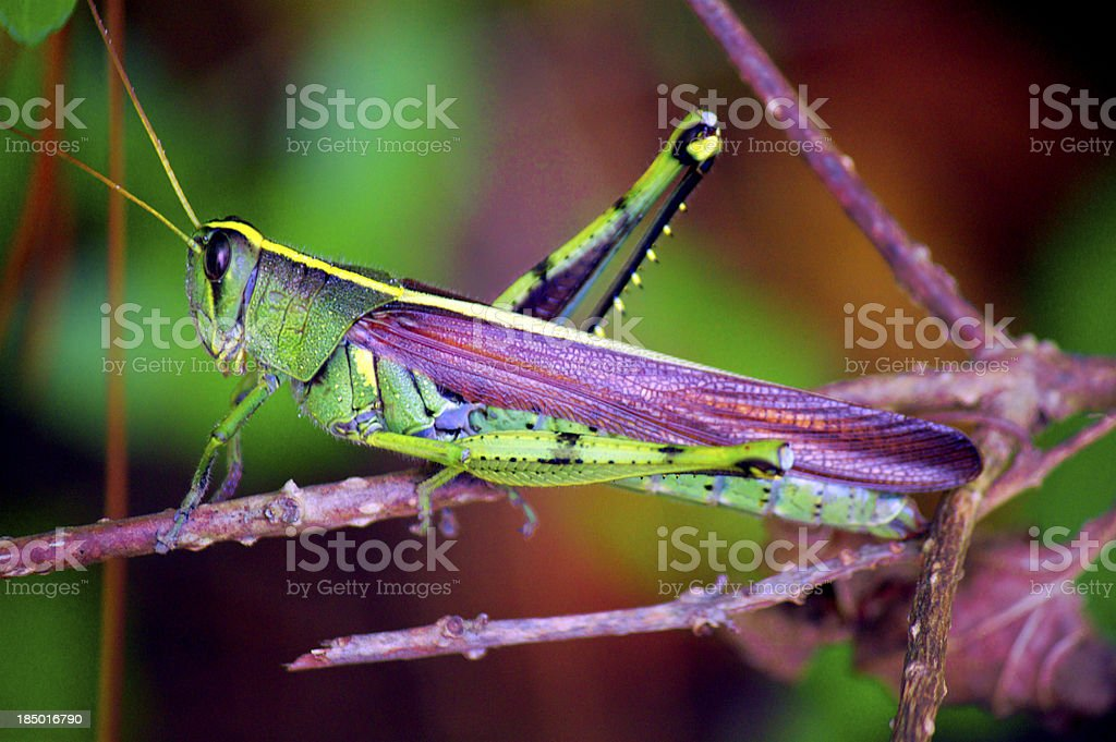 agreen and yellow grasshooper sitting on a brwon branch stock photo