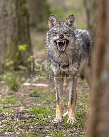 istock Agressive European grey Wolf 910258216