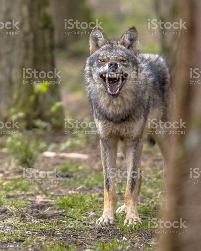 Agressive European grey Wolf stock photo