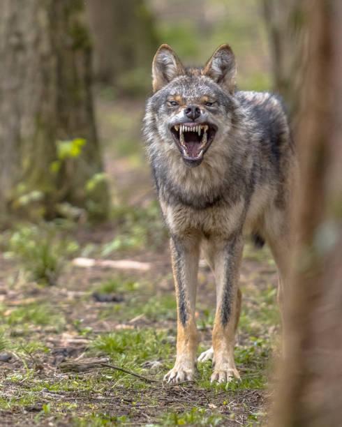 aggressive europäischer grauwolf - knurren stock-fotos und bilder