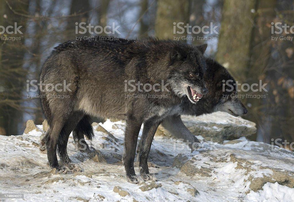 Agressive Timberwolf - foto de acervo