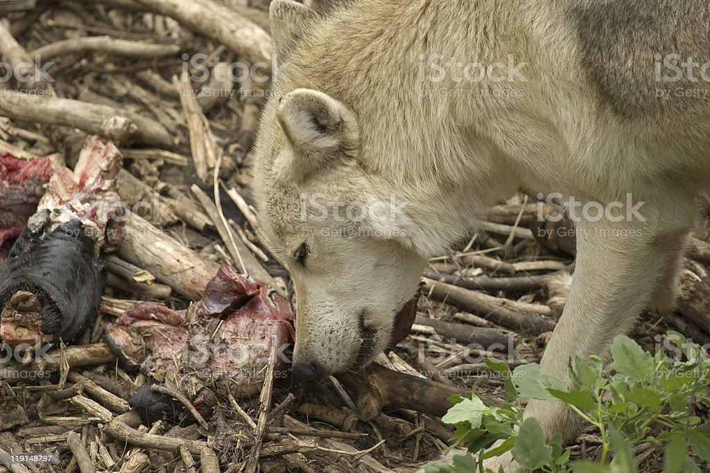 Agressive Wolf Close-Up eating stock photo