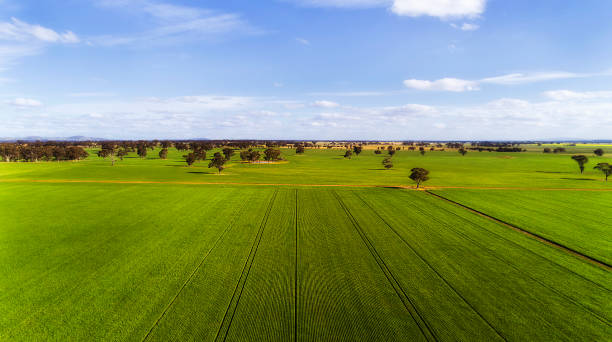 D VIC Agri Green Field Flat Green growing remote corn farmland field in rural regional victoria of Australian continent on a sunny summer day under blue sky in aerial view towards distant clear horizon. Agricultural industry of Australia growing organic vegetables. paddock stock pictures, royalty-free photos & images