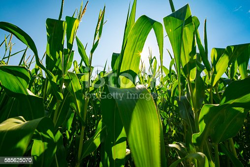 istock Agribusiness Farm Field Genetically Modified Corn Crop Growing Before Harvest 585625070