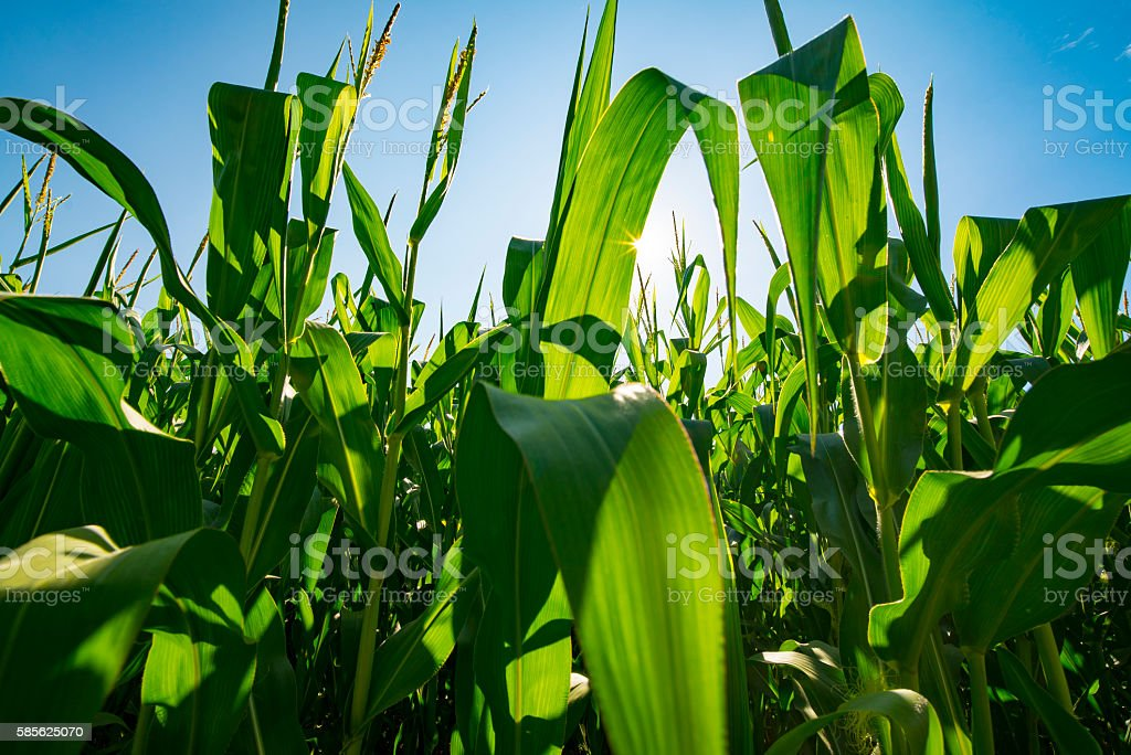 Agribusiness Farm Field Genetically Modified Corn Crop Growing Before Harvest stock photo