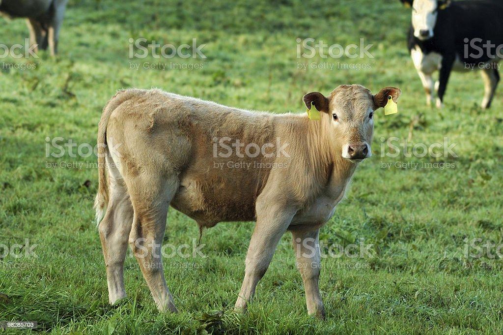 농업 짐승-젊은 암소 (리무진 캘프) 농업 royalty-free 스톡 사진