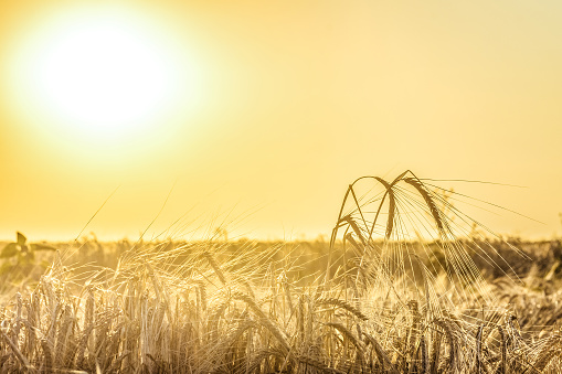 Agricultural background with ripe rye spikelets in the golden rays of a bright summer sun backlight. Countryside scene with limited depth of field.