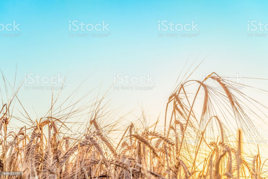 Agricultural background with ripe rye spikelets on a bright sunny summer day. Beautiful nature view. Countryside scene with limited depth of field. stock photo