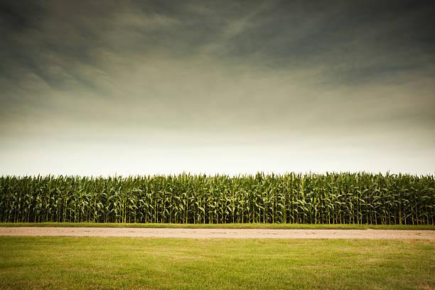 tempestuosa previsão para agricultura campo de milho - milho imagens e fotografias de stock