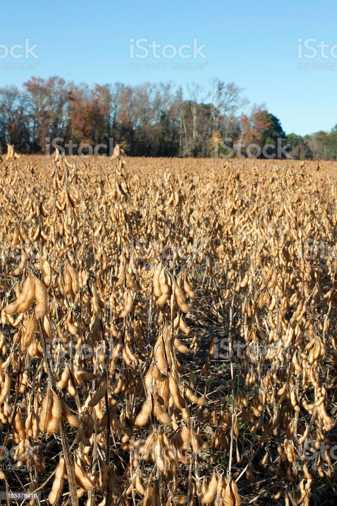 Agricultural Detail shot of Soybeans ready to be harvested royalty-free stock photo