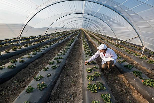 сельскохозяйственных инженер, работающих в теплице. органические agricul - оранжерея стоковые фото и изображения