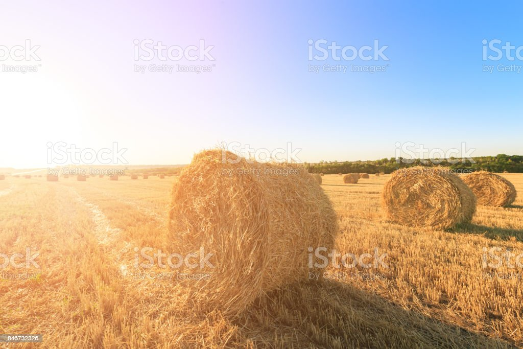 Agricultural field after harvesting wheat. Rolls of hay are in opposite light stock photo