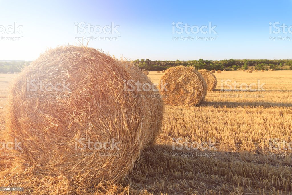 Agricultural field after harvesting wheat. Rolls of hay lined up in row stock photo