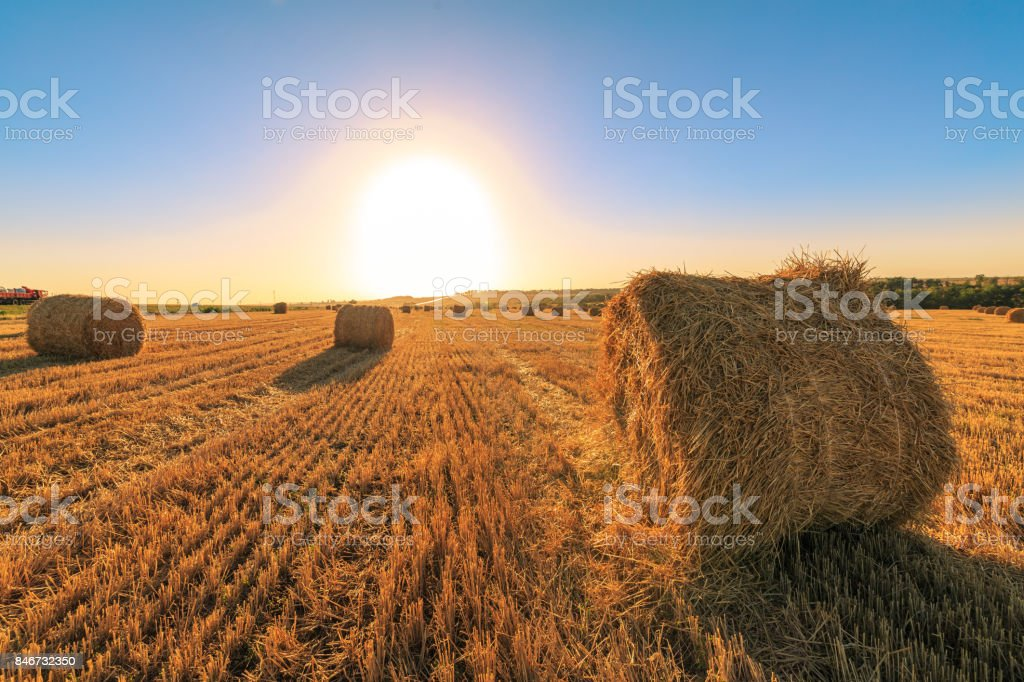 Agricultural field after harvesting wheat. The sunset on the field with round haystacks stock photo