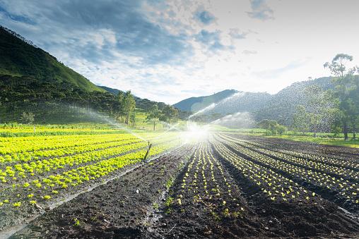Image of agricultural sprinklers irrigating the lettuce plantation