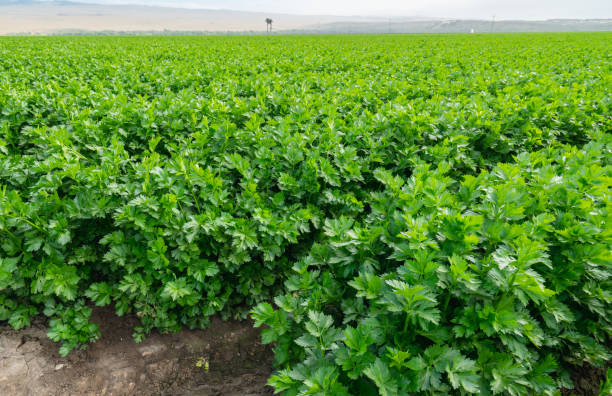 Agricultural Field of Celery Plants stock photo