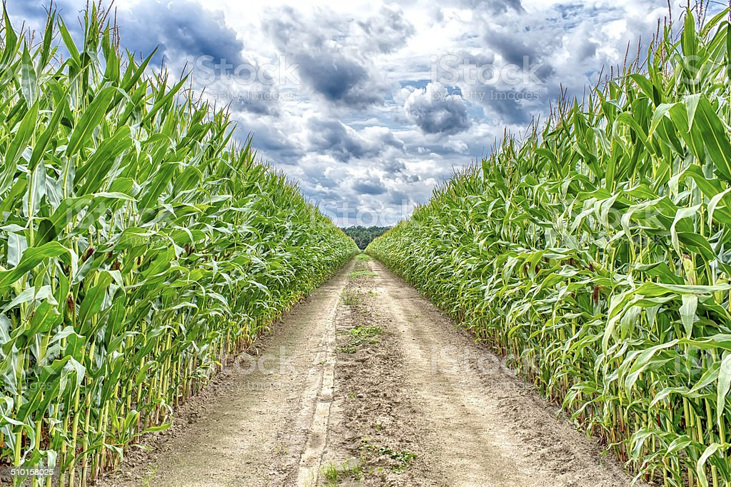 Agricultural field on which the green corn grows stock photo