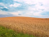 Agricultural field with ripe wheat