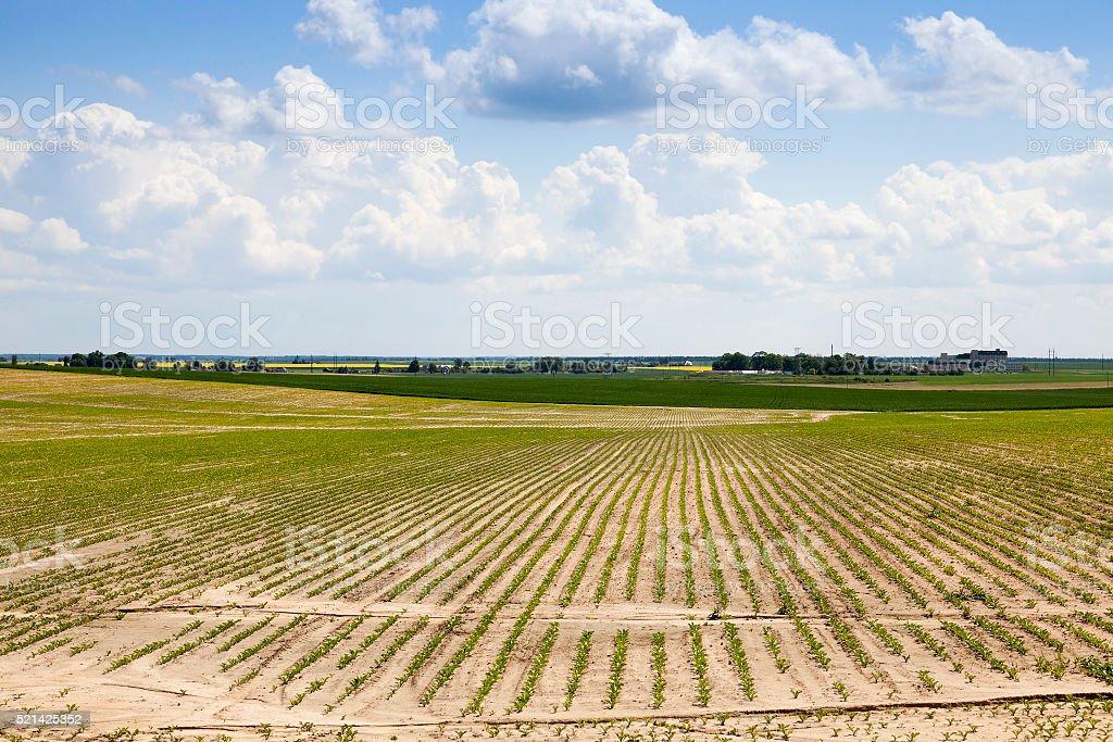 Campo de agricultura com beterraba - foto de acervo