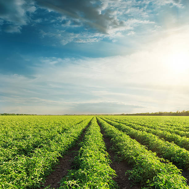 agricultural field with green tomatoes and sunset in clouds - tomato field stock photos and pictures