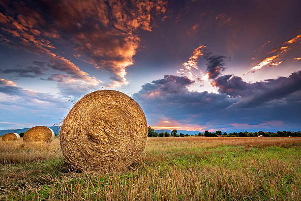 Agricultural field with hay bales at sunset. stock photo