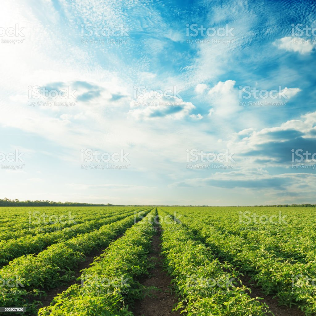 agricultural fields with tomatoes and sunset in blue sky stock photo