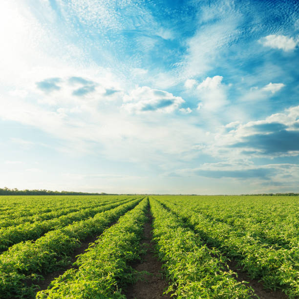 agricultural fields with tomatoes and sunset in blue sky - tomato field stock photos and pictures