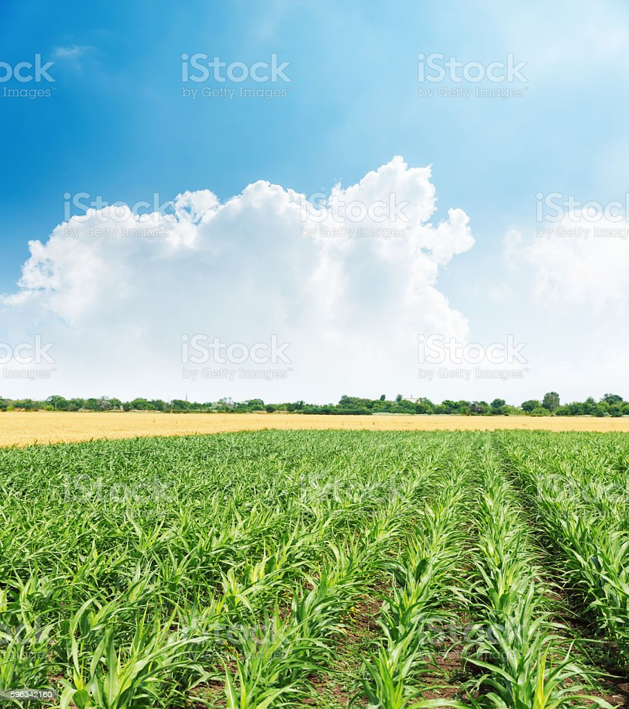 agricultural green field and clouds in blue sky over it Lizenzfreies stock-foto