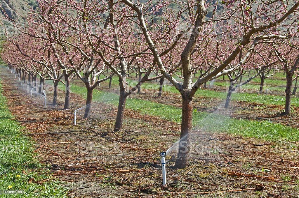Agricultural irrigation and flowering peach trees royalty-free stock photo