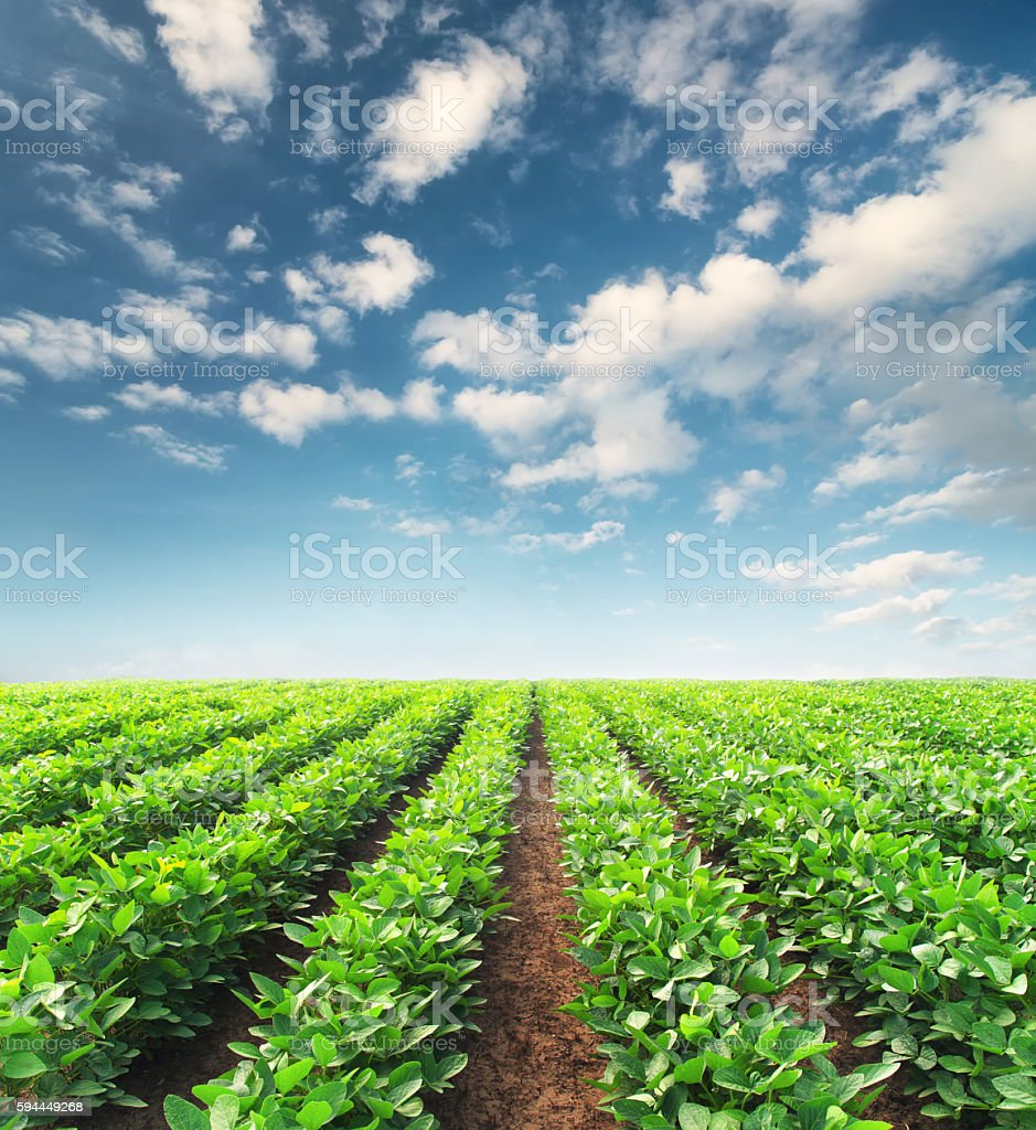 Agricultural landscape Rows on the field. Agricultural landscape in the summer time Agricultural Field Stock Photo