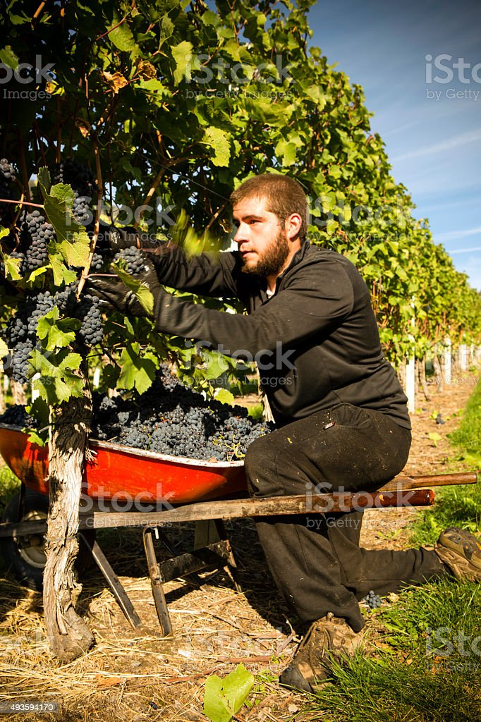 Agricultural Occupation Grape Harvesting stock photo