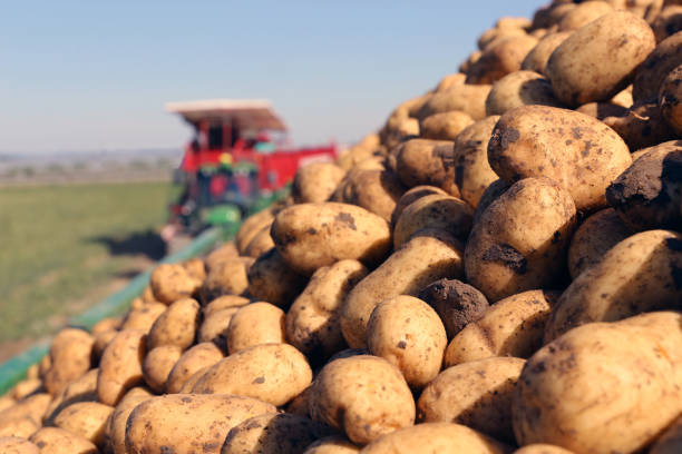 Agricultural potato harvest stock photo